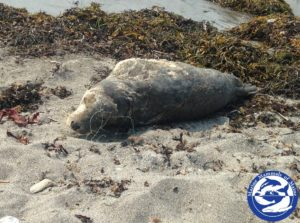 Yearling grey seal Kettle Cove Beach in Cape Elizabeth, ME