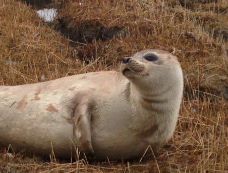 Juvenile Harp Seal Brunswick_2