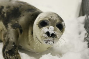 Rehab Harp Seal in the Snow